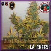 Big Buddha LA Cheese Female Cannabis Strain Buy Seeds UK